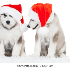 Wonderful two happy puppy Husky, has red Christmas hat. New Year holiday card. Little Santa Claus. Winter background.