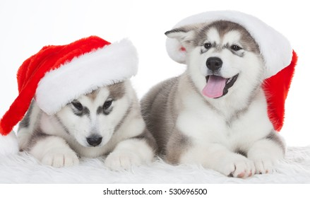 Wonderful two happy puppy Husky, has red Christmas hat. New Year holiday card. Little Santa Claus. Winter background
