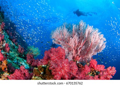 Wonderful underwater world with sea fan and vibrant colors of corals and Scuba Diver backdrop, Scubadiving Underwater seascape concept.