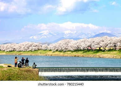 Wonderful view of Hitome Senbonzakura along the bank of Shiroishi river with the snow-covered Zao Mountain in the background in Miyagi prefecture, Japan