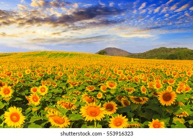Wonderful view of sunflowers field under blue sky, Nature summer landscape