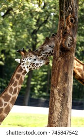 A wonderful view of two big Giraffes in the Safari Park of Varallo Pombia