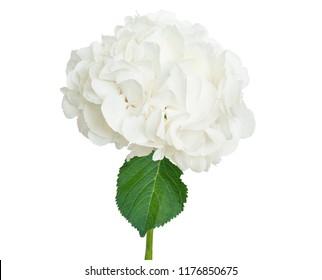 Wonderful white hydrangea isolated on a white background