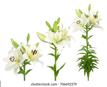 Wonderful white lilies isolated on a white background