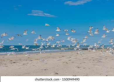 Wonderful white sand beach, A group seagulls flying above the sea with selective focus, Late summer with sunny day and blue clear sky at Dutch north sea coast, Noord-Holland, Netherlands.