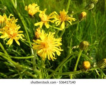 wonderful wild plant pippau