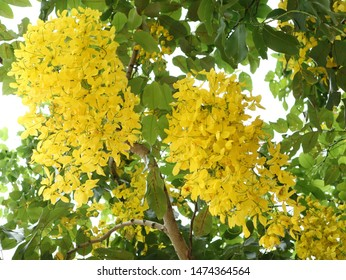 Wonderful Yellow Cassia fistula. Beautiful tropical plants in Thailand.