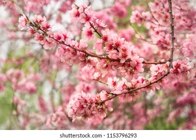 Wonderfully delicate pink cerry blossoms on tree branches at the Spring Floriade Festival in Canberra, Australian Capital Territory, Australia.