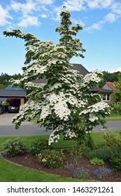 Wonderfully lush flowering white dogwood