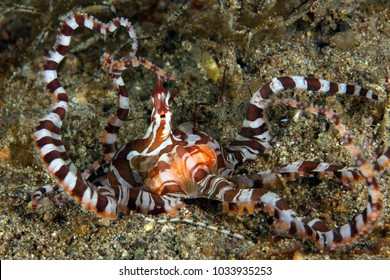 Wonderpus (Wunderpus photogenicus) on Sandy Bottom. Anilao, Philippines
