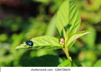 Wonosobo,11 Januari 2019. Di pagi yang cerah seekor serangga hitam menempel pada daun hijau yang segar.