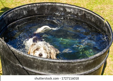 Woo, a small crossbreed dog takes a dip in a horses water butt, cooling down from the hot summer weather after running around the horse's field and paddock.