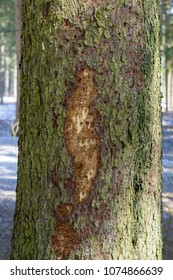Wood affected with woodworm Ips typographus. Damaged tree trunk close up. Destroyed bark tree rugged structure