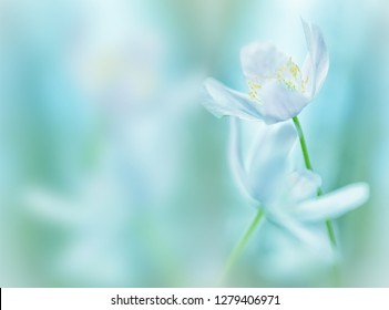 Wood anemone background. White wildflowers shallow depth. These wild flowers are among the first announcing new life in spring