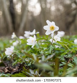Wood Anemone close up in a low perspective image