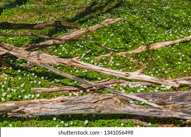 Wood anemone flowers and tree logs