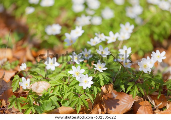Wood anemone, green and brown leafs. Very short depth of focus