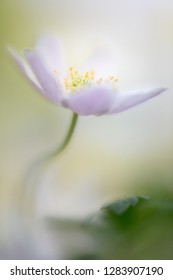 Wood anemone nemerosa, a delicate early spring wild flower. Beautiful fragile wildflower shot in soft focus giving an artistic and romantic look.