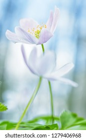 Wood anemone pair in love abstract. White wildflowers shallow depth. These wild flowers are among the first announcing new life in spring