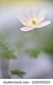 wood anemone white spring wildflower on beautiful blurred bokeh background.