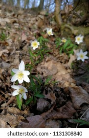 Wood anemones are flowering in the forest