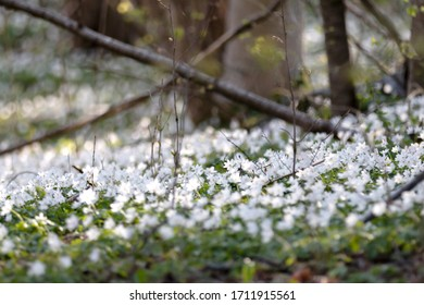 Wood anemones photographed with very shallow depth of field