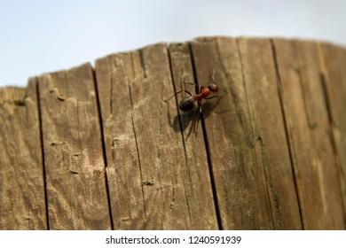 Wood ant climbing down
