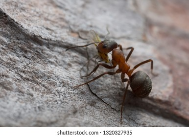 Wood ant, Formica with caught aphid