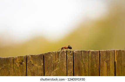 Wood ant walking along wooden ridge