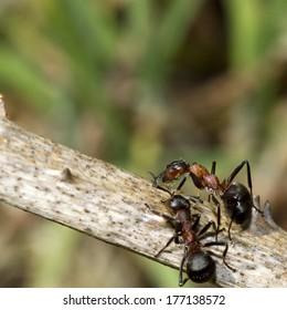 Wood ants (Formica rufa) on a twig.