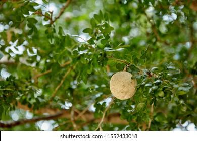 Wood apple fruit in tree, Tissamaharama, Sri Lanka - Shutterstock ID 1552433018