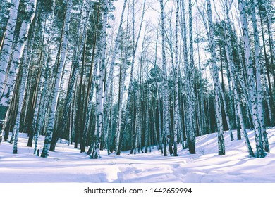 Wood Birch Trees and Pines in the Snowy Landscape Background of Nature Winter Park
