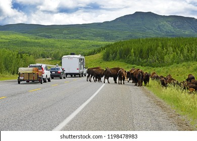 Wood Bison (Bison bison athabascae) on Alaska Highway. World famous Alaska Highway was constructed during World War 2 for the purpose of connecting the contiguous United States to Alaska across Canada