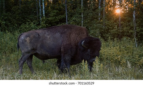 Wood bison grazing in the forest in Elk Island Park
