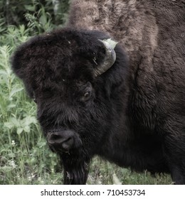 A Wood Bison in nature staring at camera in Elk Island National Park.