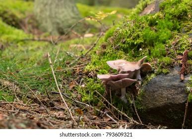 Wood blewit, Lepista nuda