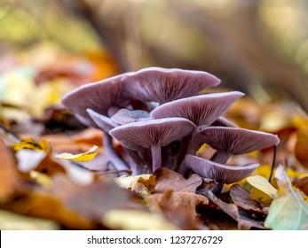 Wood blewit (Lepista nuda) mushroom