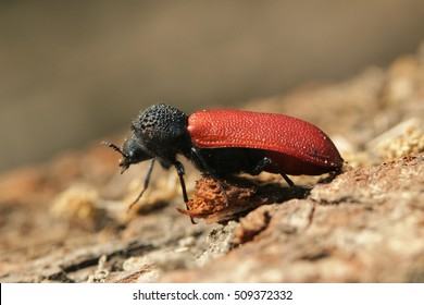 Wood borer with red elytrae and black head sitting on a piece of bark