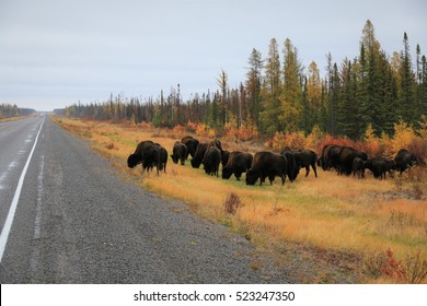 Wood Buffalo herd browsing along the Yellowknife Highway north of Fort Providence/ Browsing Bison/ Wood Buffalo herd in the Northwest Territories