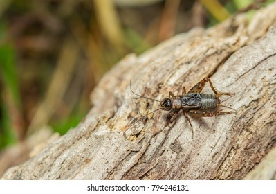 Wood Cricket - Nemobius sylvestris scarce UK species, restricted to a few heathland sites in the South
