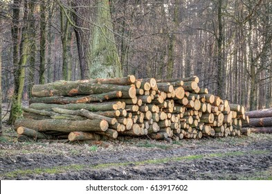 Wood cut in the forest. Cut down tree trunks for industrial purposes.