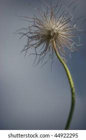 Wood dandelion