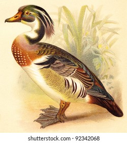 Wood Duck (Aix sponsa) / vintage illustration from Meyers Konversations-Lexikon 1897