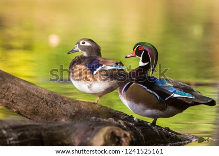 wood duck or Carolina duck (Aix sponsa) in autumn