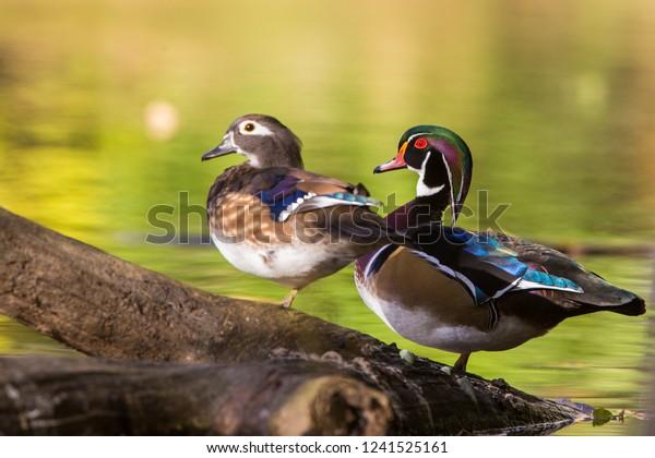 wood duck or Carolina duck (Aix sponsa) in autumn