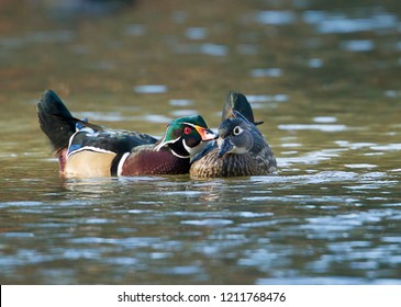 A wood duck couple is interacting with each other at Cannon Hill Park in Spokane, Washington.