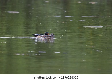 Wood duck couple at the park