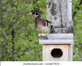 Wood duck drake sitting on top of the wood duck house