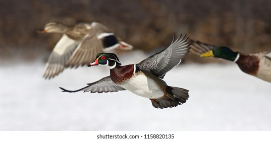 Wood duck male (Aix sponsa) taking flight with mallard and drake ducks in winter in Ottawa, Canada