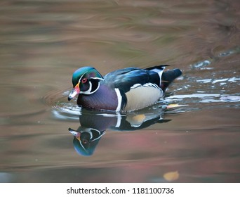 A wood duck on an Oregon lake